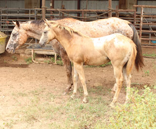 DF Appaloosas Horses For Sale David Feagin Tyler Texas